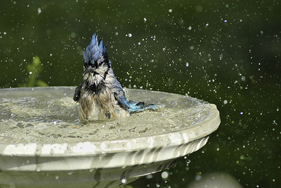 Blue Jay on bathing time. / Geai bleu au bain.