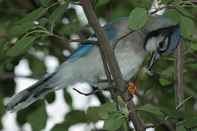 Geai bleu mangeant une merise. / Blue Jay eating a cherry.