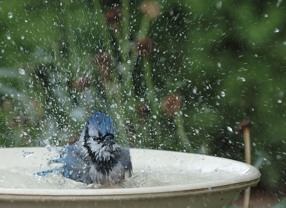 Blue Jay on bathing time. / Geai bleu au bain.