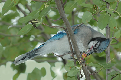 Varennes, Qc, Canada; Geai bleumeangeant une merise ( Prunus avium ) dans l'arbre / Blue jay eating a fruit in the tree ( wild cherry, sweet cherry, bird cherry ). (Cyanocitta cristata)