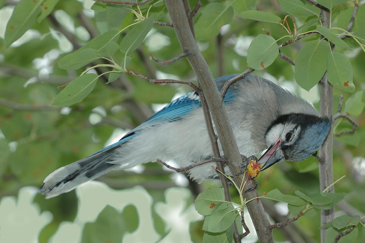 Varennes, Qc, Canada; Geai bleumeangeant une merise ( Prunus avium ) dans l'arbre / Blue jay eating a fruit in the tree ( wild cherry, sweet cherry, bird cherry ). (Cyanocitta cristata)