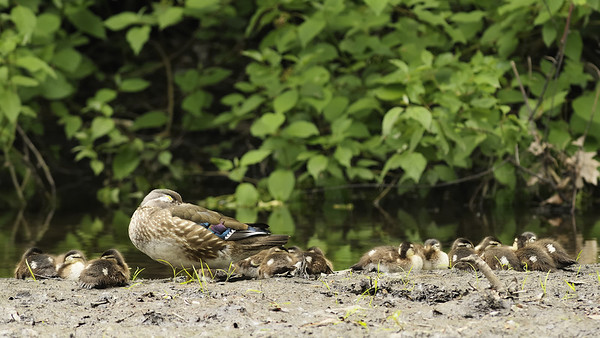 St-Bruno-de-Montarville, Qc, Canada; Femelle Canard branchu avec ses petits / Female Wood Duck with her babies. (Aix sponsa )