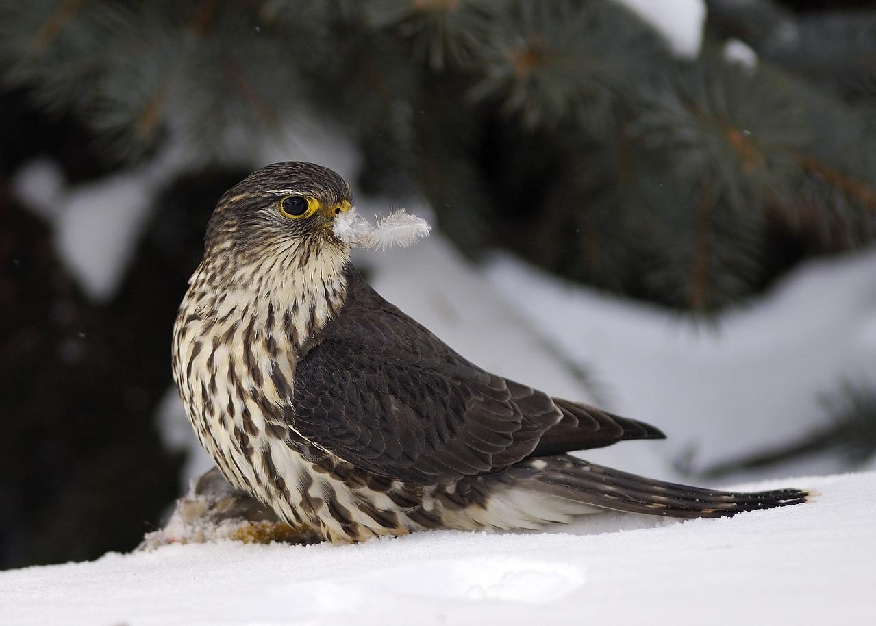 Faucon Emerillon plumant sa capture / Merlin with feather of his prey