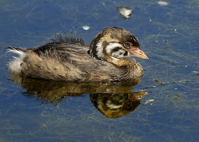 Grebe à bec bigarré juvénile / Youth Pied-billed Grebe