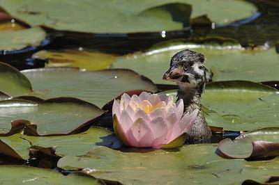 Juvenile de Grebe a bec bigarre ( Podilymbus podiceps ) dans un etang du Jardin botanique de Montreal, Qc, Canada / Juvenile Pied-billed Grebe in a pound of Montreal Botanical Garden, Qc, Canada