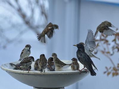 Varennes, Qc, Canada; birds »( Starling and House Sparrow ) bathing on a cold winter day ( -5ºC ) / Oiseaux ( Etourneau sansonnet et Moineau domestique ) au bain par une froide journée d'hiver ( -5ºC ).