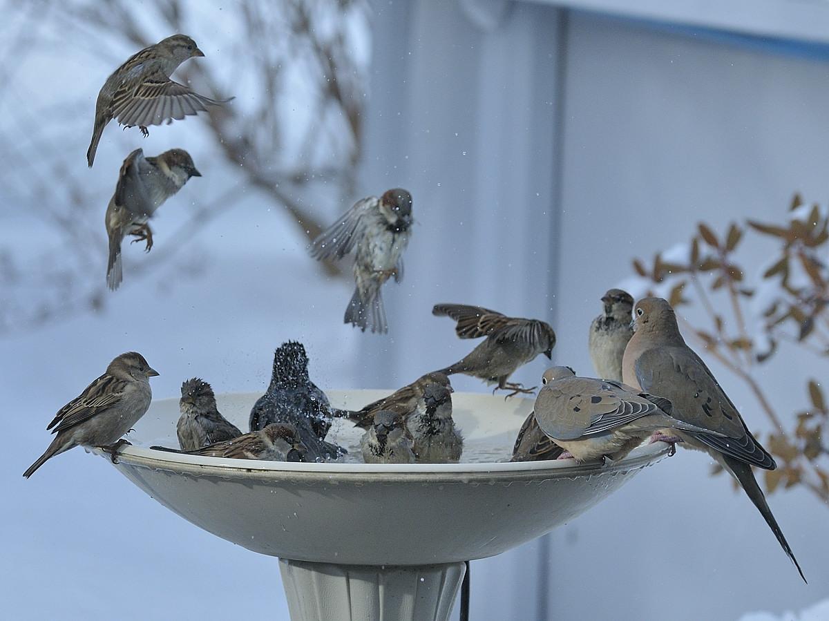 Varennes, Qc, Canada; birds »( Starling, Mourning Dove and House Sparrow ) bathing on a cold winter day ( -5ºC ) / Oiseaux ( Etourneau sansonnet, Touterelle triste et Moineau domestique ) au bain par une froide journée d'hiver ( -5ºC ).