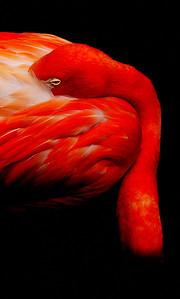 Phoenicopterus roseus, Zoo de Granby, Granby, Qc, Canada: Flamant rose / Pink Flamingo ( Grater Flamingo )