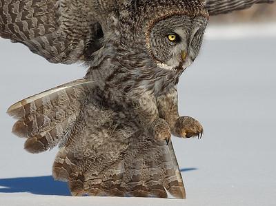 Great Grey Owl attacking  a prey