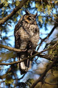 Boucherville, Qc, Canada: Hibou moyen-duc avec un rat ( ratus ratus ) dans ses serres qu'il conserve pour plus tard / Long-Eared owl with a rat ( ratus ratus ) that it will eat later.
