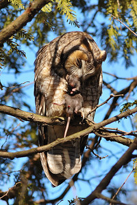 Hibou moyen-duc et sa proie ( ratus ratus ) / Long-eared owl with his prey ( ratus ratus )