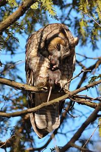 Hibou moyen-duc et sa proie ( ratus ratus ) / Long-eared owl with his prey ( ratus ratus )