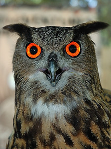 Florida, USA; this young owl was pictured using a flash that has permit to emphasis the orange color of the eyes. It give him an unnatural look / Jeune hibou photographier au flash à courte distance. Ce qui a permis d'accentuer grandement la couleur orange des yeux pour lui donner un regard surnaturel.