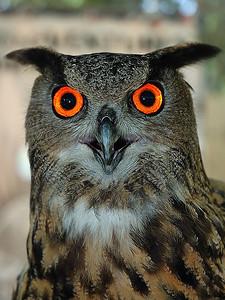 Florida, USA; this young owl was pictured using a flash that has permit to emphasis the orange color of the eyes. It give him an unnatural look / Jeune hibou photographier au flash à courte distance. Ce qui a permis d'accentuer grandement la couleur orange des yeux pour lui donner un regard surnaturel.