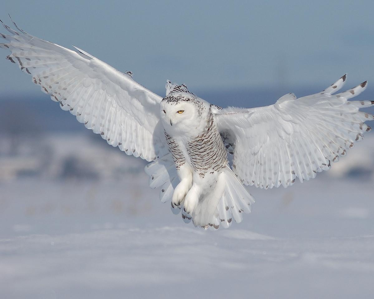Harfang des neige a St-Barthelémie, Qc, Canada / Snowy Owl in St-Barthelémie, Québec, Canada