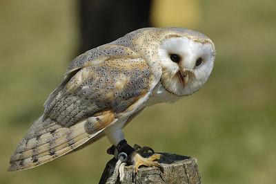 Effraie des clochers ou chouette effraie ( Tyto alba ) photographier au Parc Omega a Montebello, Qc, Canada / Barn owl ( Tyto alba ) photographed in Omega Park in Montebello, Qc, Canada