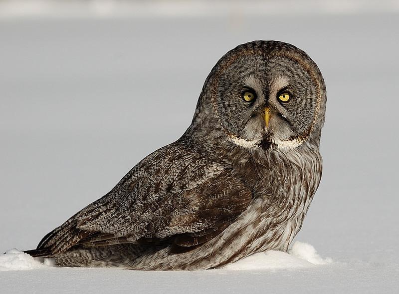 Great Grey Owl on his prey ( Ile Bizard, Quebec, Canada ) / Chouette lapone sur sa proie ( Ile Bizard, Quebec, Canada )