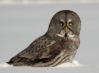 Great Grey Owl on his prey ( Ile Bizard, Quebec, Canada ) / Chouette lapone sur sa proie ( Ile Bizard, Quebec, Canada )