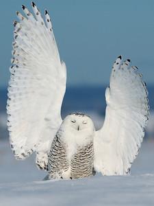 Atterrissage d'un Harfang des neiges a St-Barthelemie / Snow owl landing
