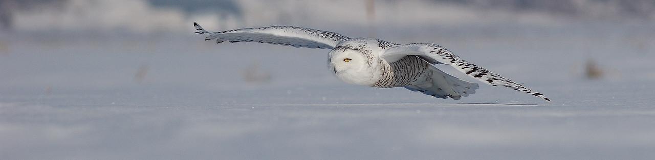 Harfang des neiges en rase motte a St-Barthelemie / Snowy owl in flight