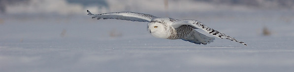 Harfang des neiges en rase motte a St-Barthelemie / Snowy owl in flight