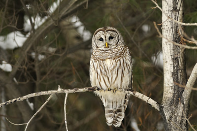 Ile Charron, Boucehrville, Qc, Canada; Chouette rayée / Barred Owl or Eight Hooter, Rain Owl, Wood Owl, Striped Owl and is best known as the Hoot Owl based on its call. (Strix varia)