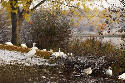 Réservoire Beaudet, Victoriaville, Qc, Canada; Oie des neiges / Snow Goose. ( Chen caerulescens )