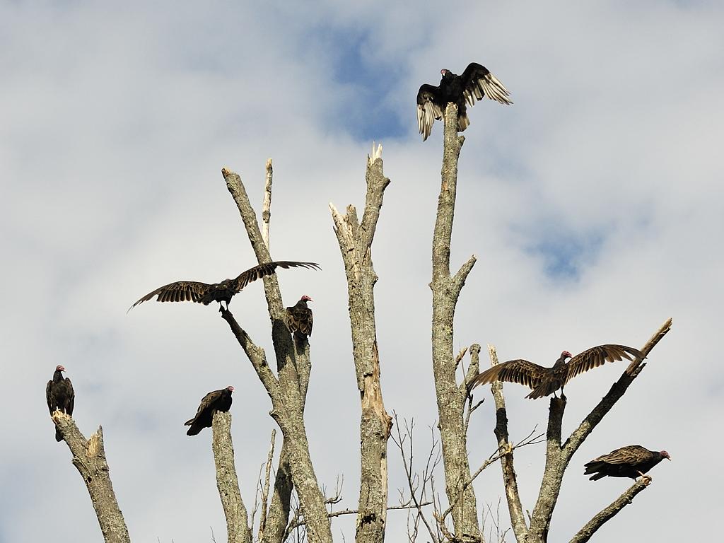 Urubu à tête rouge se chauffant pour l'envo matinal au Lac-des-Plages / Turkey Vulture warming their body for their first daily flight in Lac-des-Plages, Québec, Canada