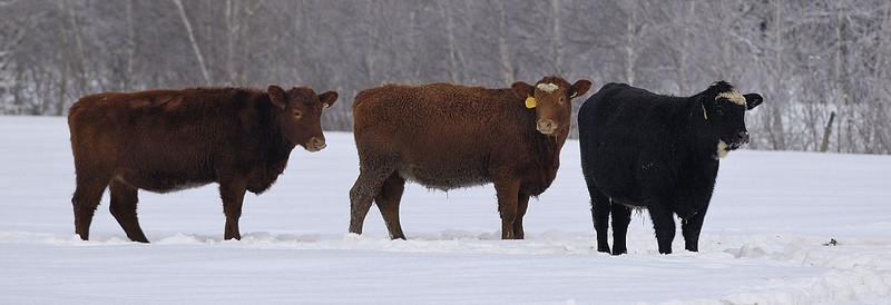 Boeuf dans la neige / Three bullocks in the snow.