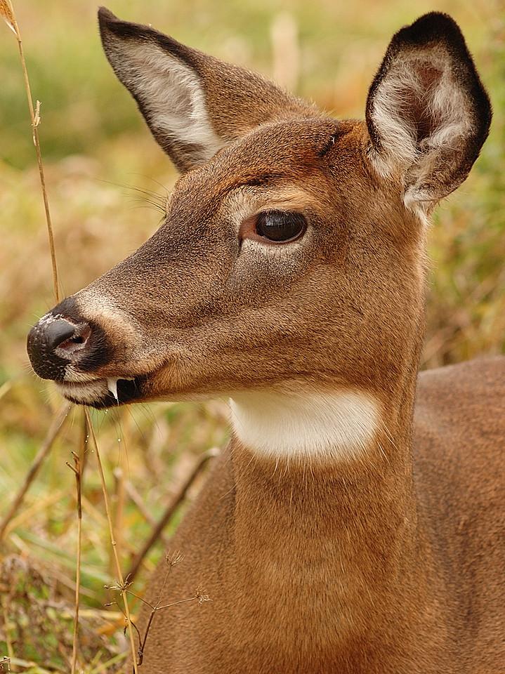 Cerf de Virginie ( Odocoileus virginiana ) dans les iles de Boucherville, Qc, Canada / White-tailed deer ( Odocoileus virginiana ) photographed in Boucherville, Qc, Canada