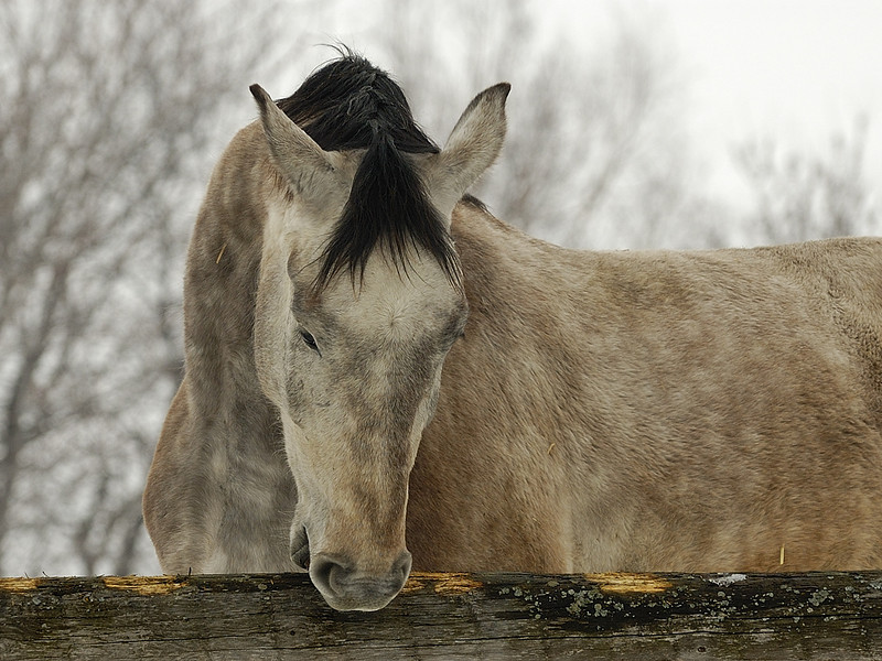 Horse eating the fence on a dull winter day