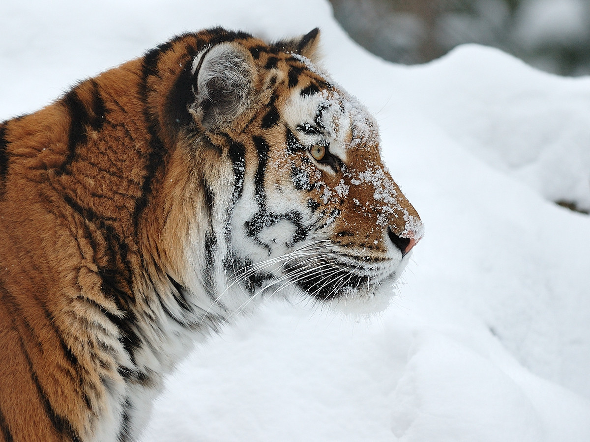 Tigre de l'amour (Panthera tigris altaica) au zoo de Granby, Qc, Canada / Siberian tiger (Panthera tigris altaica) at the Granby zoo, Qc, Canada