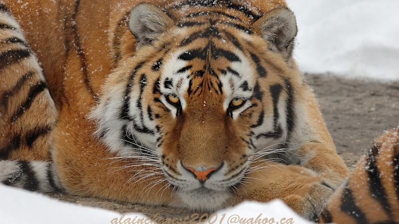 The tiger siesta