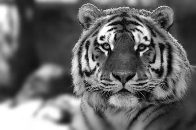 Zoo de Granby; Tigre de l'Amour ( Tigre de Sibérie ) / Amur tiger ( Siberian tiger )