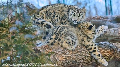 Léopards des neige juvéniles