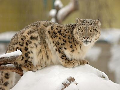 L'Once (Panthera uncia, Felis irbis, Uncia uncia), aussi appelé Irbis, Panthère des neiges ou Léopard des neiges photographie au Zoo de Granby, Qc, Canada / Snow leopard (Uncia uncia) photographed in Granby zoo, Qc, Canada