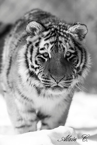 Tigre juvénile
