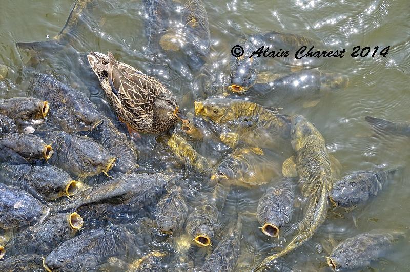 Malard dans l'étang
