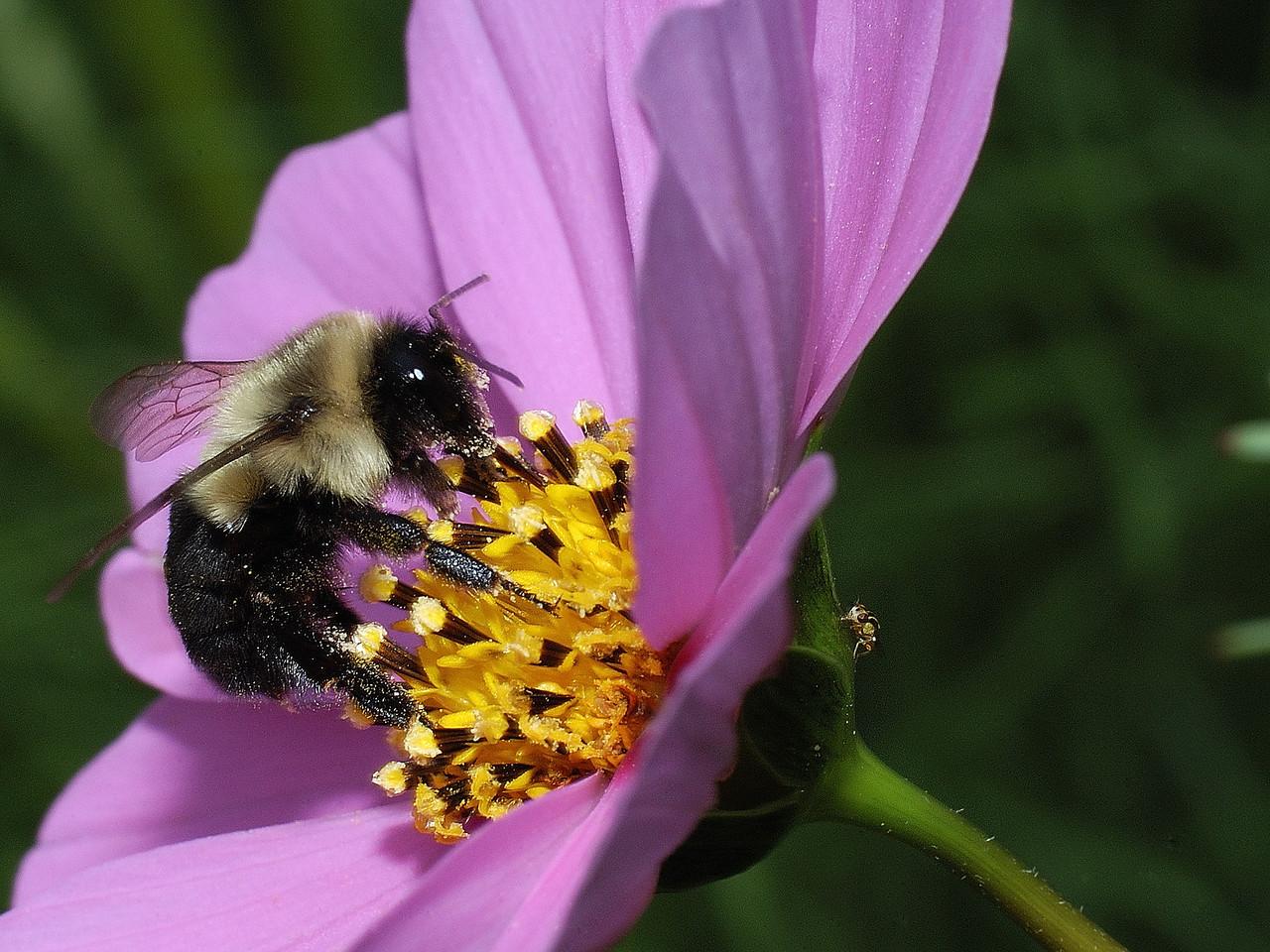 Varennes, Qc, Canada: bourdon butinant une fleur de Cosmos, on observe aussi un insecte beaucoup plus petit sur le côté opposé de la fleur. / Bumblebee on a Cosmos flower. A very small iinsect is present on the other side of the flower.