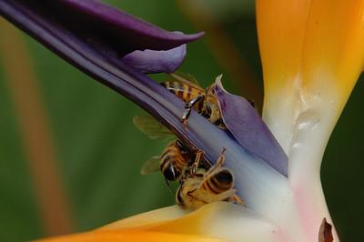 Bermudes: abeilles butinant une fleur d'Oiseau de paradis / Bermuda: bees ona Bird of paradise flower.