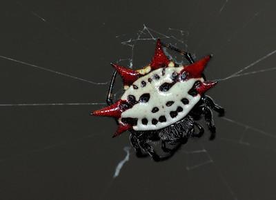 Bermuda: araignée ( Gasteracantha cancriformis  ) très répendue sur l'île, environ 1 cm de diamètre/ this spider ( Gasteracantha cancriformis  ) is very widespread on the island, around 1 cm of diameter.