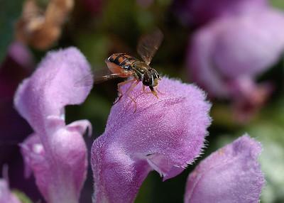 Mouche  sur fleur de lamier ( Lamium maculatum ) / Fly on a Lamium maculatum flower