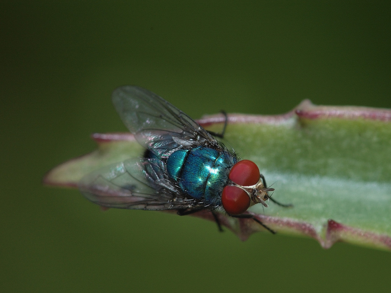 Bermuda: macrophotogaphy d'une mouche / Macrophotography of a fly