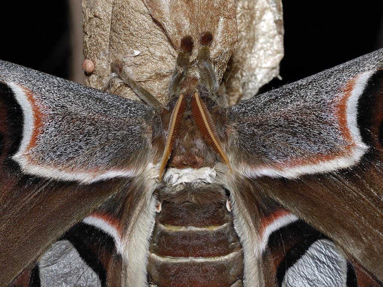 Jardin Botanique de Montréal, Montréal, Qc, Canada: Papillon cobra ( Attacus atlas ) en gros-plan / Atlas moth ( Attacus atlas ) , details of the head and body.