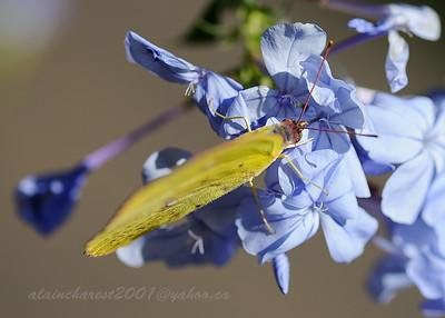 Sulphur on blue