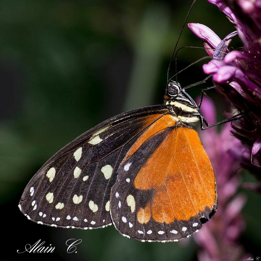 Tithorea tarricina