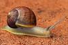 Helix aspersa (Brown garden snail)