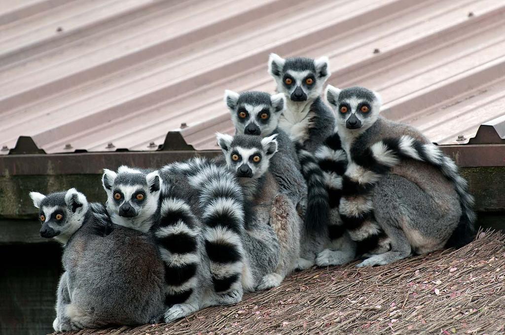 Maki Catta / Maki Mococo / Lemur Cata / Ring-tail-Lemur, Zoo de Granby, Granby, Qc., Canada