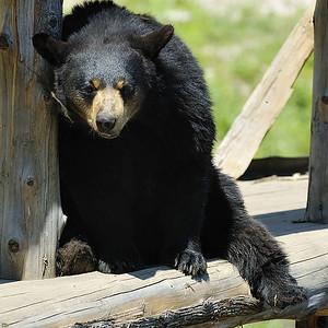 Black Bear at Park Omega / Ours noir au Parc Oméga