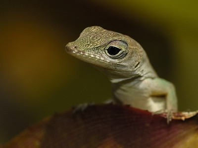 Portrait of a small lezard; Anolis_grahami-Jamaica